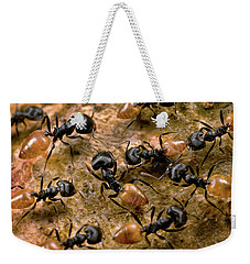 Ant Crematogaster Sp Group Weekender Tote Bag by Mark Moffett