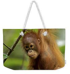 Orangutan Pongo Pygmaeus Baby Swinging Weekender Tote Bag by Christophe Courteau