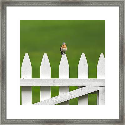 Bluebird On The Fence Square Framed Print by Bill Wakeley