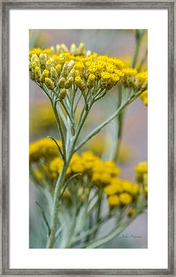 Curry Plant Aroma Framed Print by Julie Palencia