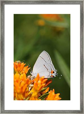 Gray Hairstreak On Butterfly Weed Framed Print by Dick Todd