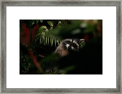 I Can See You  Mr. Raccoon Framed Print by Kym Backland