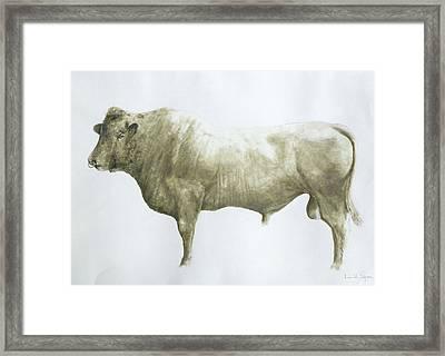 Islay Bull Framed Print by Lincoln Seligman