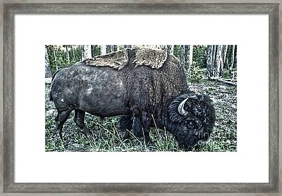 Molting Bison In Yellowstone National Park Framed Print by Gregory Dyer
