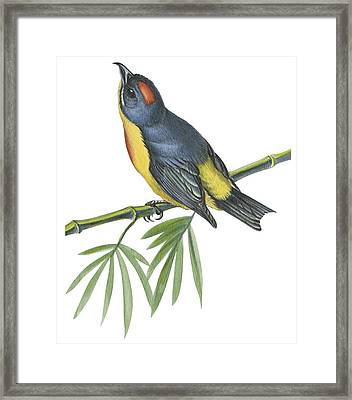 Philippine Flowerpecker Framed Print by Anonymous