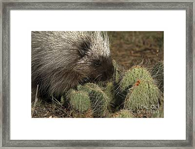 Porcupine-animals-image-1 Framed Print by Wildlife Fine Art