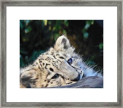 Snow Leopard Cub Framed Print by Margaret Saheed