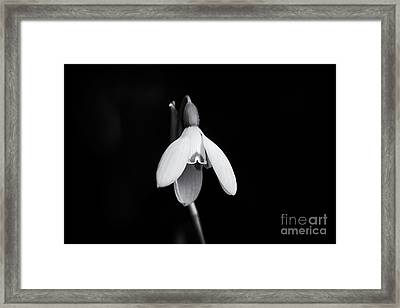 Snowdrop Monochrome Framed Print by Tim Gainey