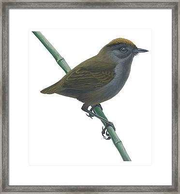 Wrenthrush Framed Print by Anonymous