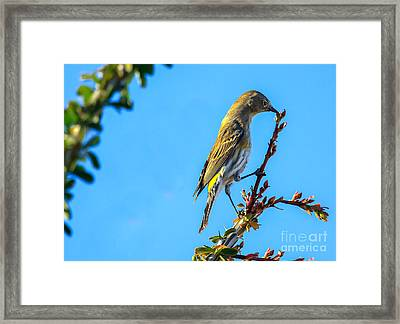 Yellow-rumped Warbler Framed Print by Robert Bales