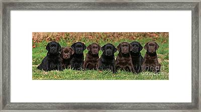 8 Labrador Retriever Puppies Brown And Black Side By Side Framed Print by Dog Photos