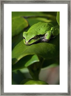 A Pacific Tree Frog  Pseudacris Regilla Framed Print by Robert L. Potts