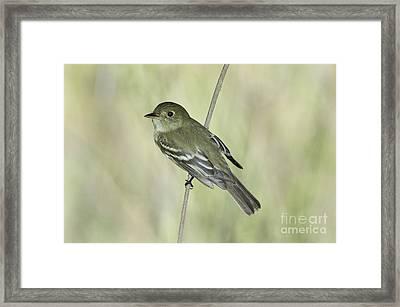 Acadian Flycatcher Framed Print by Anthony Mercieca