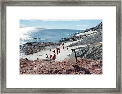 Adelie Penguins Framed Print by Ashley Cooper