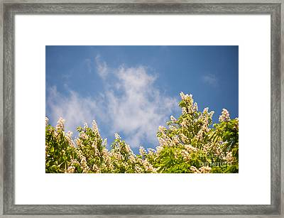 Blossoming Aesculus Tree On Blue Sky  Framed Print by Arletta Cwalina