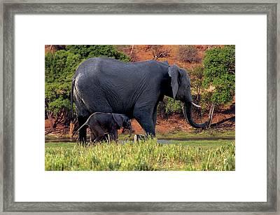African Elephant (loxodonta Africana Framed Print by Miva Stock