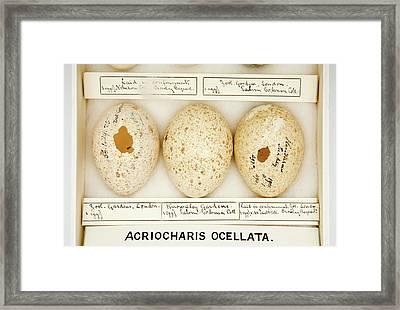 Agriocharis Ocellata Eggs Framed Print by Natural History Museum, London