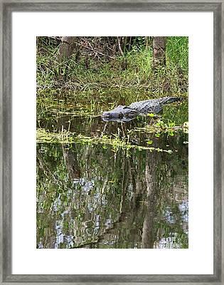 Alligator In Swamp Framed Print by Jim West