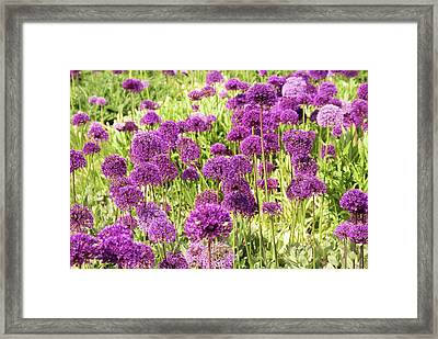 Allium Hollandicum 'purple Sensation' Framed Print by Adrian Thomas