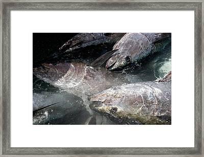 Almadraba Tuna Fishing Framed Print by Louise Murray