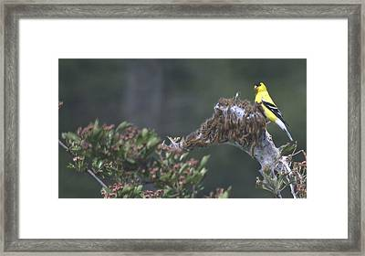 American Goldfinch Framed Print by Graham Foulkes