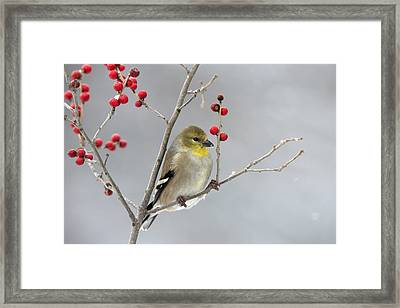 American Goldfinch In Winter Framed Print by Scott Leslie