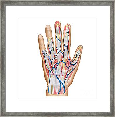 Anatomy Of Back Of Human Hand Framed Print by Stocktrek Images