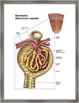 Anatomy Of Bowmans Glomerular Capsule Framed Print by Stocktrek Images