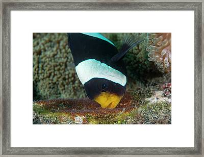 Anemonefish Guarding Eggs Framed Print by Scubazoo