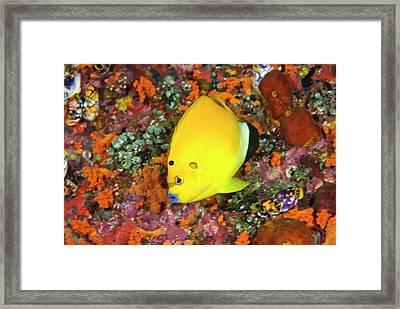 Angelfish, Raja Ampat Islands, Irian Framed Print by Jaynes Gallery