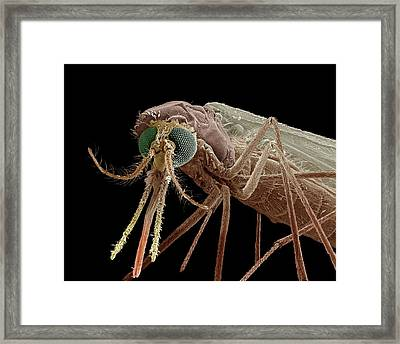 Anopheles Mosquito Framed Print by Clouds Hill Imaging Ltd