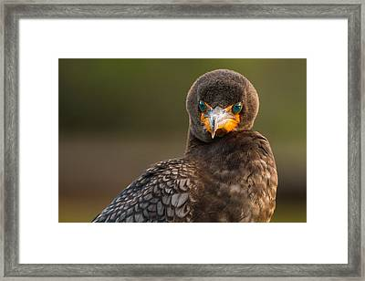 Another Cormorant Face Off Framed Print by Andres Leon