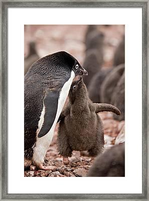 Antarctica, South Shetland Islands Framed Print by Jaynes Gallery