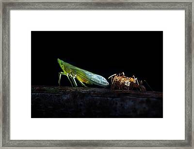 Ants Milking A Planthopper Framed Print by Melvyn Yeo