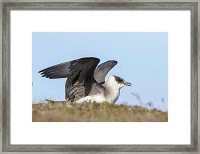Arctic Skua Or Parasitic Jaeger Or Framed Print by Martin Zwick