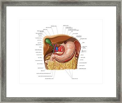 Arterial System Of Stomach Framed Print by Asklepios Medical Atlas