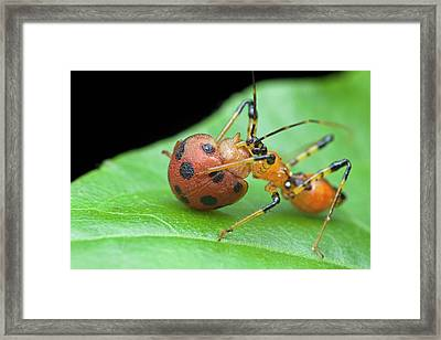 Assassin Bug Nymph Eating Ladybird Framed Print by Melvyn Yeo
