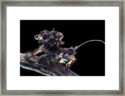 Assassin Bug With Dead Ants Framed Print by Melvyn Yeo