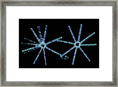 Asterionella Diatoms Framed Print by Marek Mis