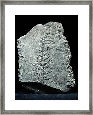 Asterophyllites Horsetail Fossil Framed Print by Gilles Mermet