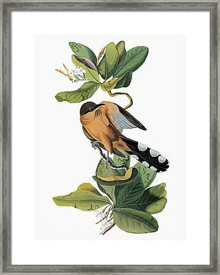 Audubon Cuckoo Framed Print by Granger