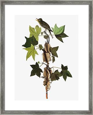 Audubon Flycatcher Framed Print by Granger