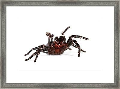 Australian Funnel-web Spider Framed Print by Gerry Pearce