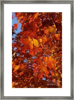 Autumn Maple Leaves 2 Framed Print by Fiona Craig