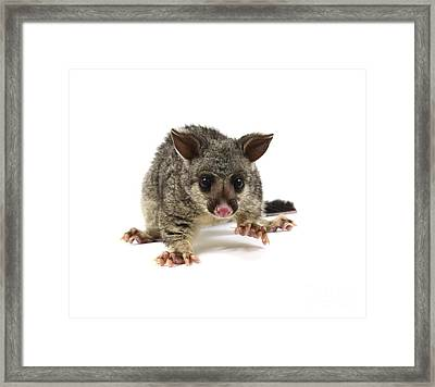 Baby Common Brushtail Possum Framed Print by Gerry Pearce