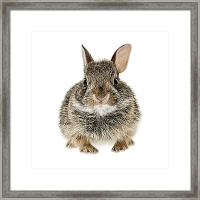 Baby Cottontail Bunny Rabbit Framed Print by Elena Elisseeva