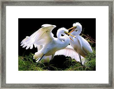 Baby Egrets In The Nest Framed Print by Paulette Thomas