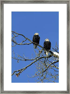 Bald Eagle, Chilkat River, Haines Framed Print by Gerry Reynolds