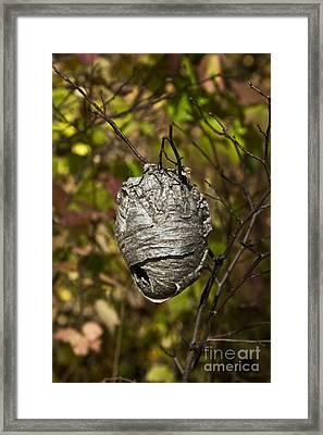 Bald-faced Hornet Nest Framed Print by Linda Freshwaters Arndt