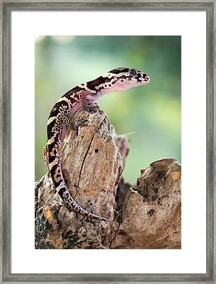 Banded Gecko Framed Print by Nicolas Reusens